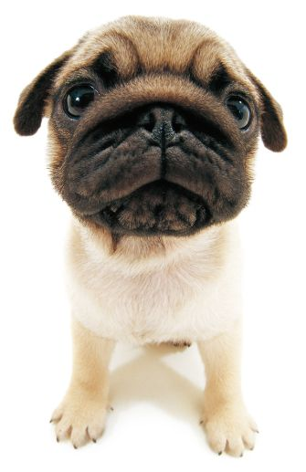That Sweet Face Cute Pug Pictures Cute Pugs Pugs Kisses