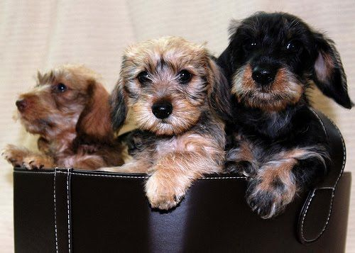Wirehaired Dach Pups Dogs 3 Wire Haired Dachshund Dachshund