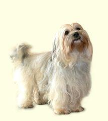 Havanese Dog Breeders In Pa - Dog Breed