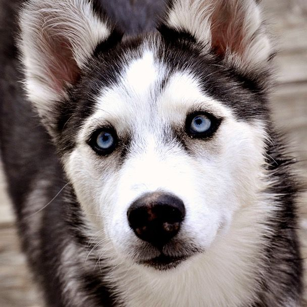 Pin By Tracy Haywood On Canine Husky Puppy Animals Husky With Blue Eyes