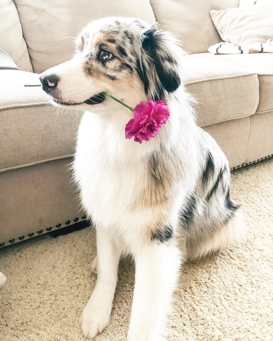 Blue Merle Australian Shepherd Aussie Puppy With Flower Aussie Puppies Merle Australian Shepherd Aussie Dogs