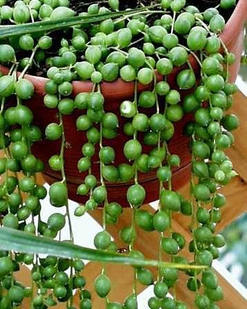 Rosario de la virgen plantas y decoraci n plantas for Vivero de plantas exoticas