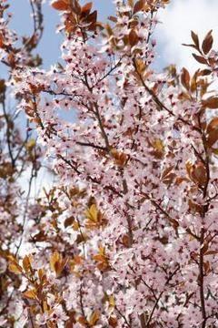 Dogwood Vs Cherry Tree Cherry Tree Spring Flowering Trees Flowering Trees