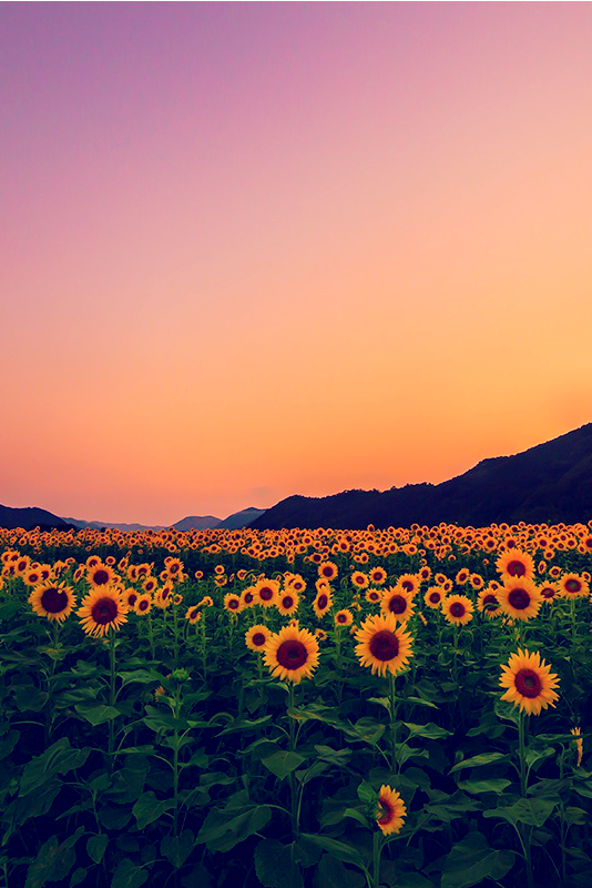 Dalia J Gutierrez Disminucion Sunflower Field Yoshiki Fujiwara