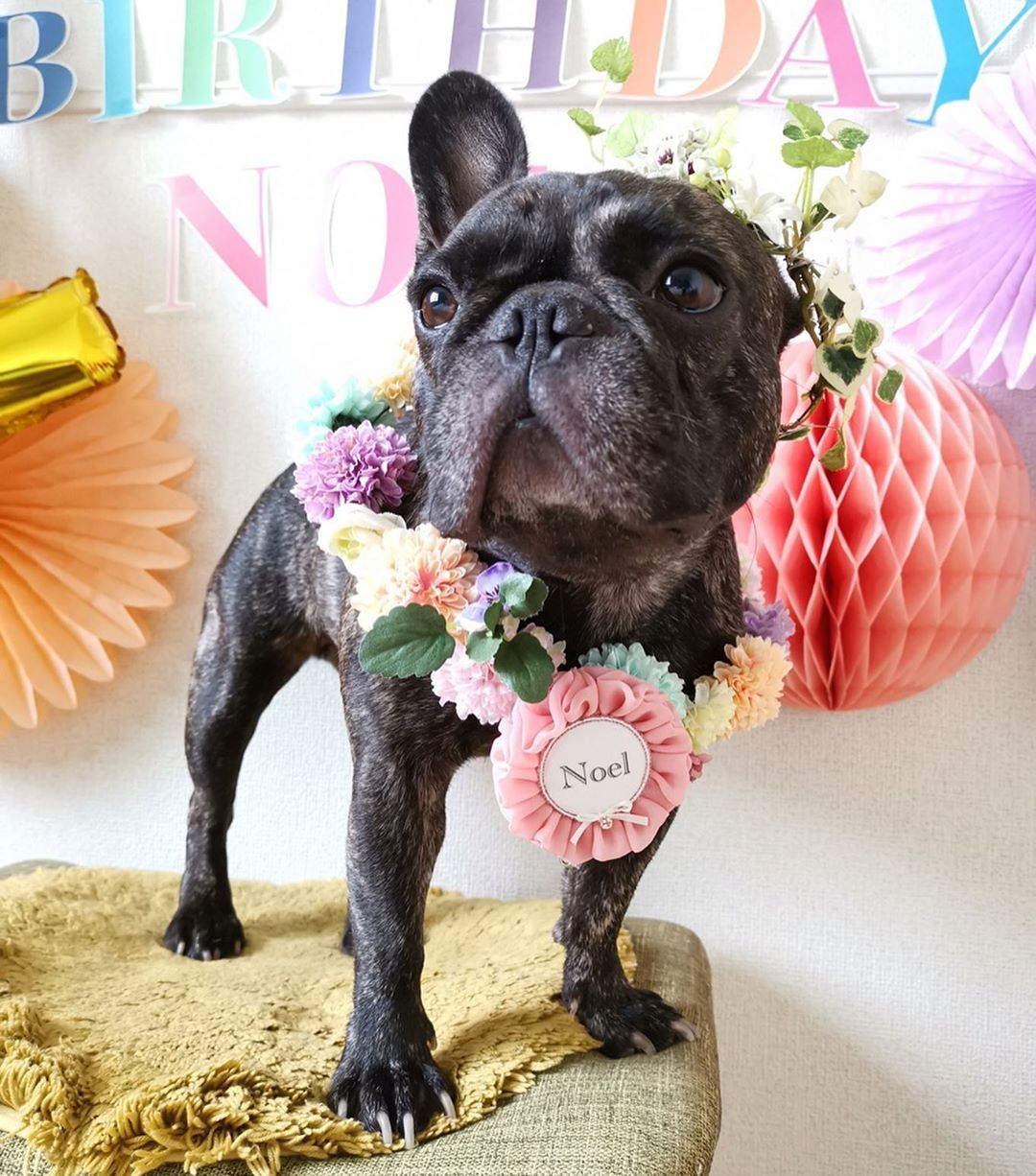 Bulldog Dogsofinstagram Dog Frenchie Dogs Bulldogsofinstagram