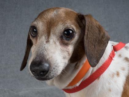 Colorado Springs Co Dachshund Mix Meet Rusty A Dog For