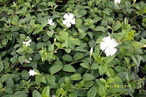 100 Stück Kleinblättriges Immergrün Alba - Vinca minor Alba - gartenpflanzen winterhart immergrun