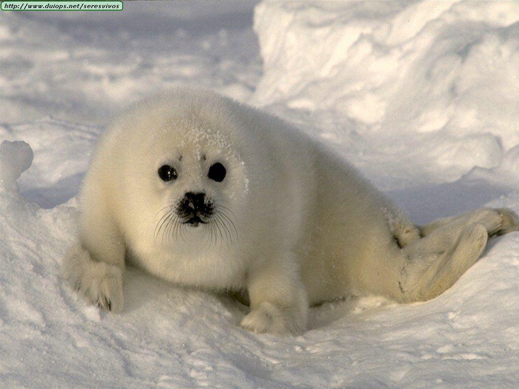 Foca Polar Animales Bebes Fotos De Animales Bebe Animales Vertebrados
