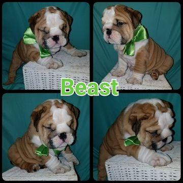 English Bulldogge Puppy For Sale In Lakeland Fl Adn 37365 On