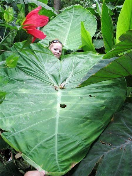 colocasia gigantea tarot g ant conseils pour cr er un jardin exotique sous nos climats. Black Bedroom Furniture Sets. Home Design Ideas