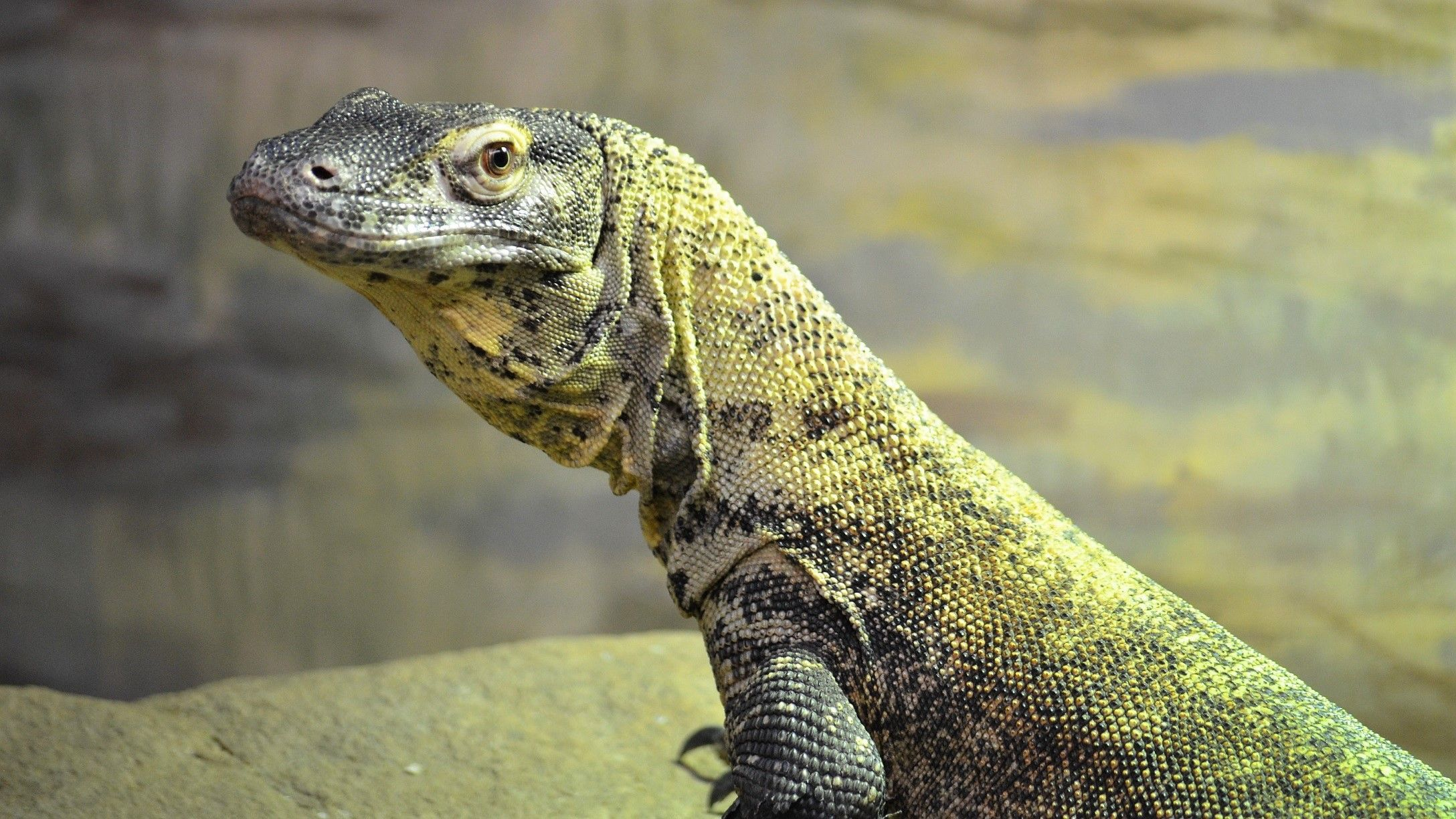 Pin Di The Komodo Dragons