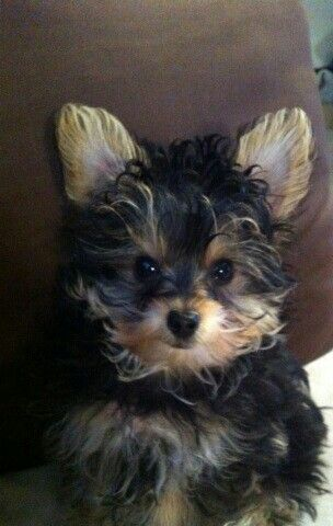 Curly Hair Yorkie Puppy Puppies