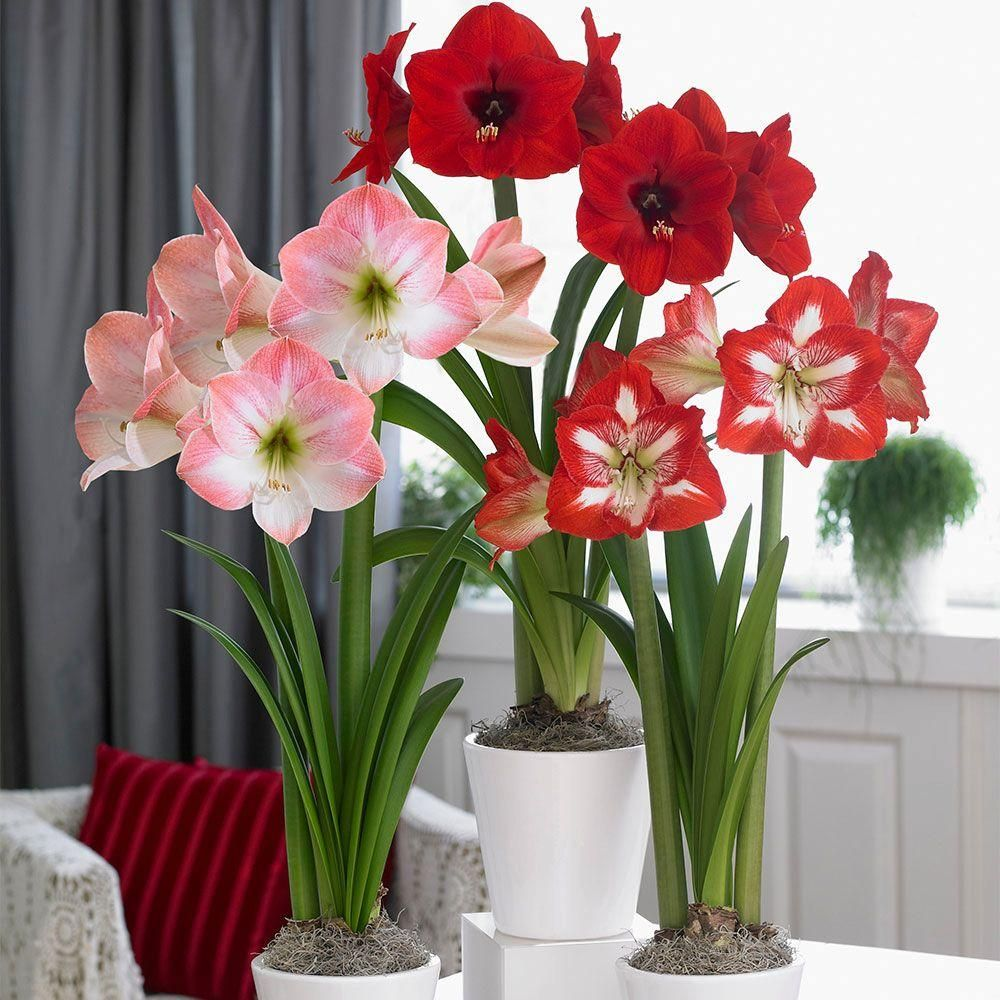 Amaryllis Trio Red Lion Apple Blossom Minerva Bulbs 3 Pack 1kit0152 The Home Depot Amaryllis Longfield Gardens Blooming Plants