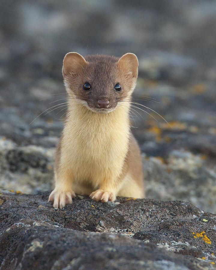 cute little weasel so curious animal kingdom pinterest