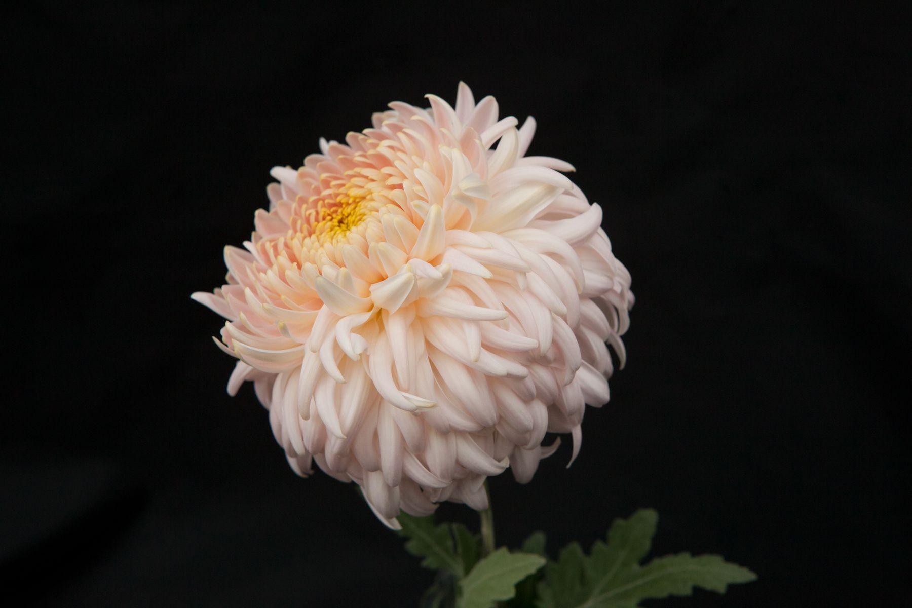 A Perfect Blush Toned Chrysanthemum Similar To The Cafe Au Lait Dahlia Flower Farmer Flowers Flower Farm