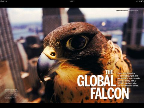 bbc wildlife magazine falcon