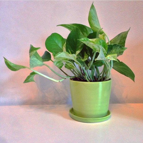 Locally made ceramic planter, The August, with easy-care pothos from TheSill.com // #LimeGreen