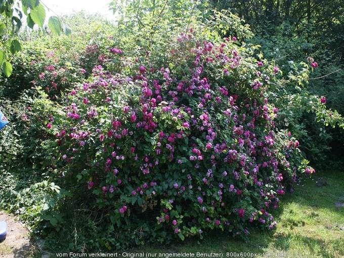 Rose Himmelsauge Garten Pflanzen Gartenpflanzen