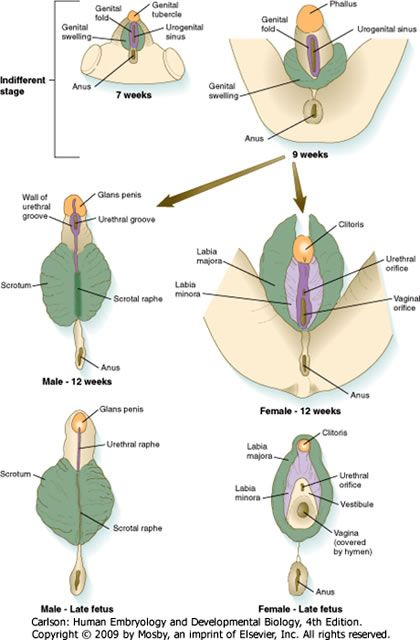 External development of male and female genitalia   Reproductive ...