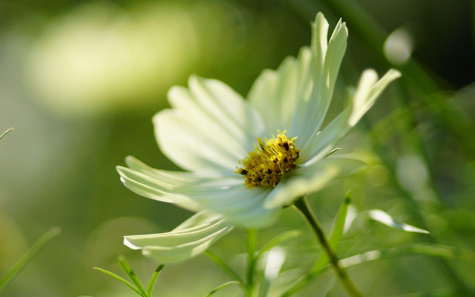 White Cosmos Flower Fleur Cosmos Blanc Wallpaper Forwallpaper