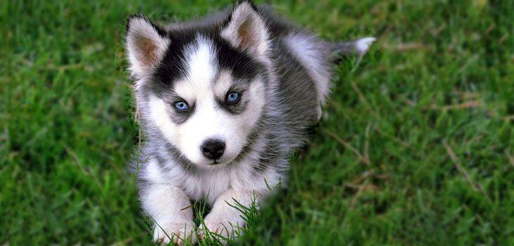 Pomsky Breeders Ohio Cute Husky Puppies Cute Animals Pomsky