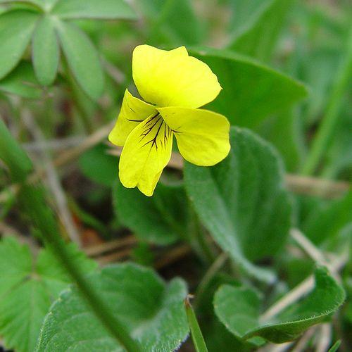 Violet (Viola ssp.)