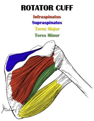 Shoulder Anatomy All About The Shoulder Muscles With Images