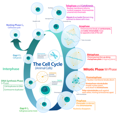 What Occurs During the Different Stages of Meiosis? Cell