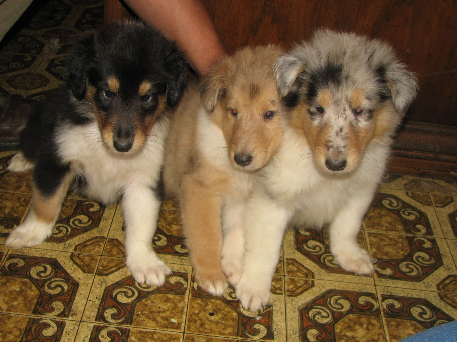 Rough Collie Puppies Tri Colour Sable And Blue Merle With