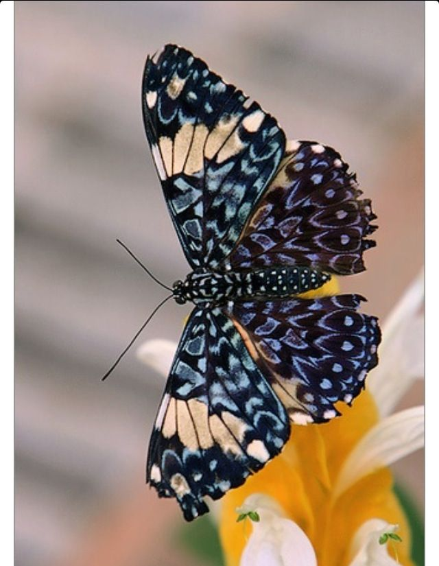 Blue designed Butterfly