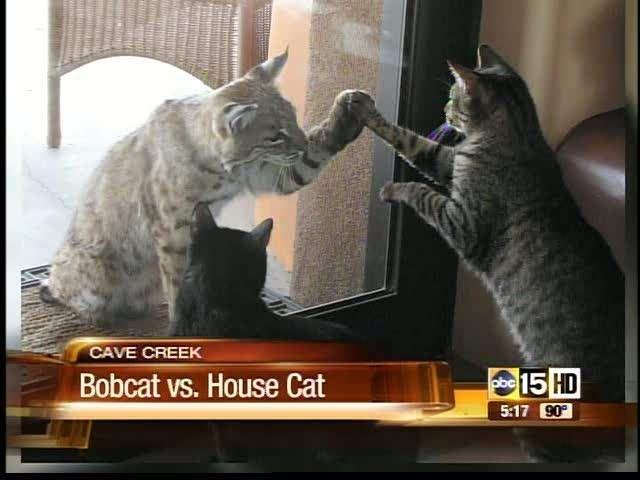 Bobcat And Cat Have Moment Cats Cute Cats