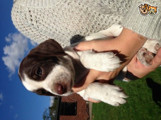 Buy A Beagle Puppy At A Great Price View For Sale Listings