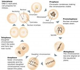 Cell Division: Mitosis and Meiosis