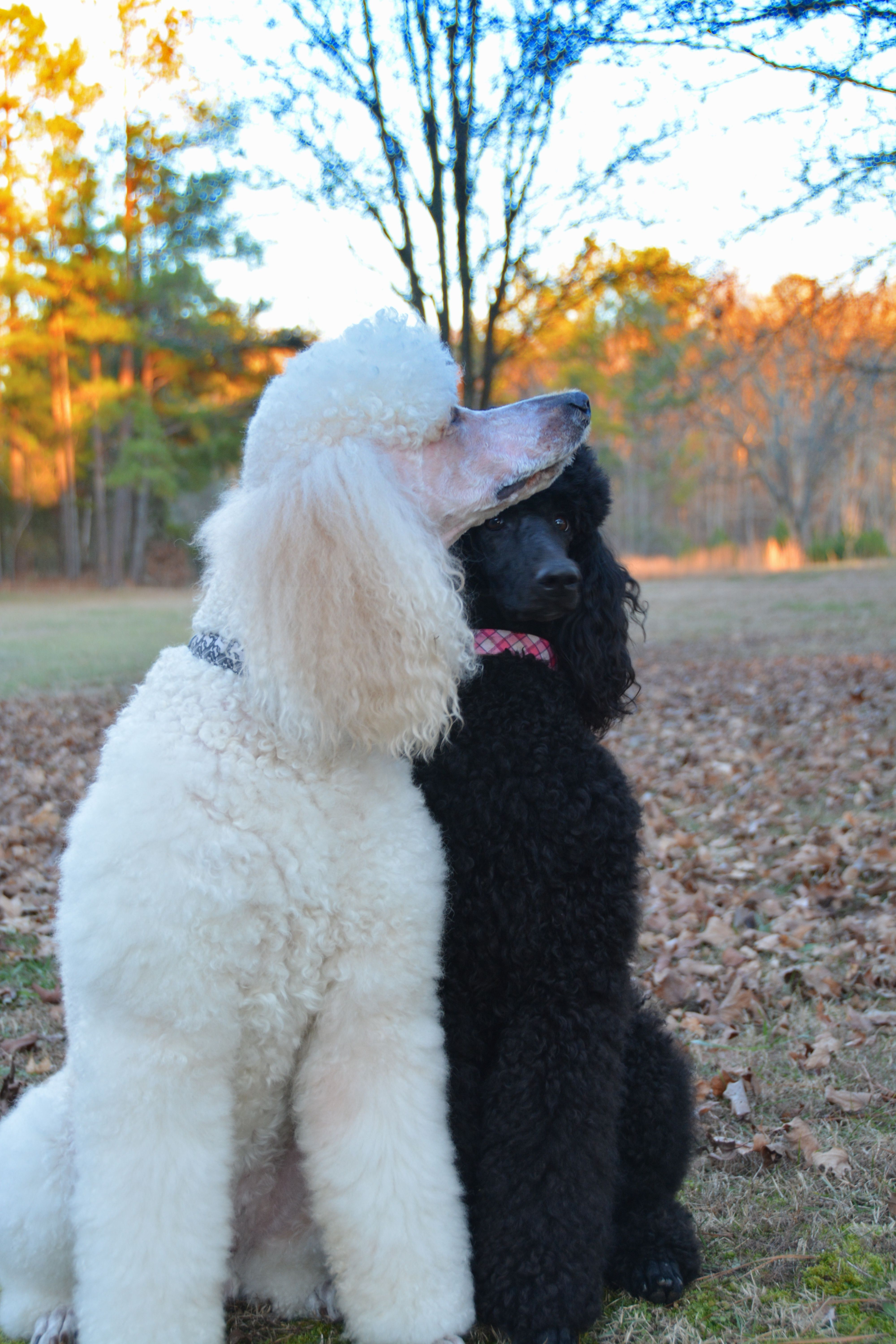 Oh Look A Bird Big Russ And Bailey Poodle Dog Cute Dogs