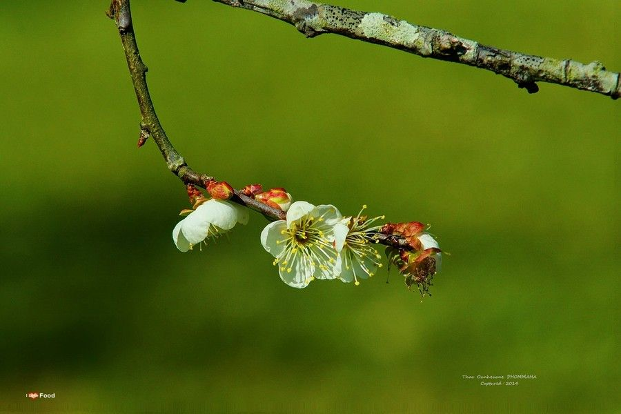 The Season Of  Plum Flowers by Thao Ounheuane Phommaha  on 500px