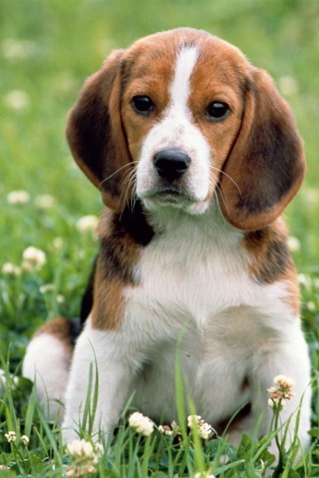 This Beagle Is The Best Playmate Dog For Little Girl Beagle Dog