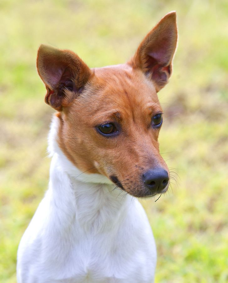 Marlee Jack Russell Terrier X Miniature Fox Terrier Mix Con