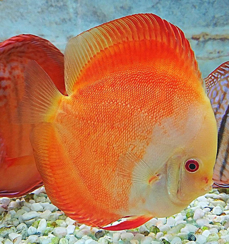 Photo Gallery Of Discus Fish Live Tropical Fish Live Tropical Fish In 2020 Fish Gallery Discus Fish Aquarium Fish
