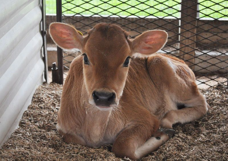 Jersey Cow Eyelashes Google Search Jersey Cow Pinterest