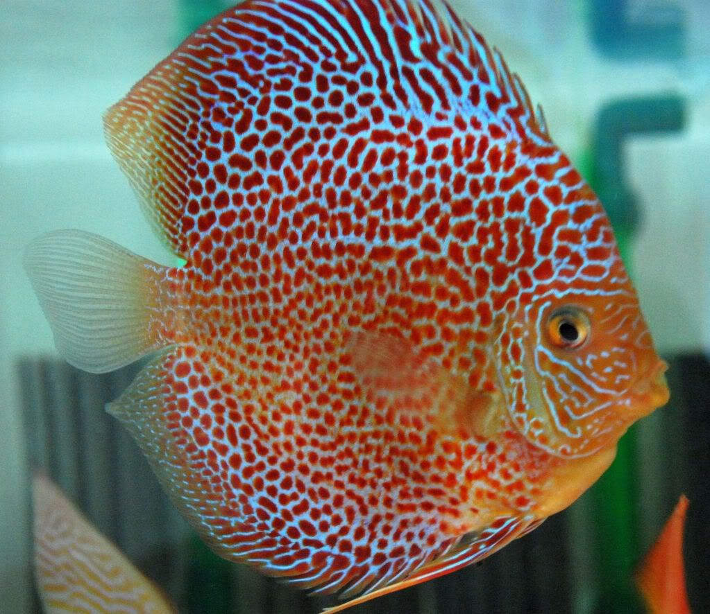 Pin On Discus Fish