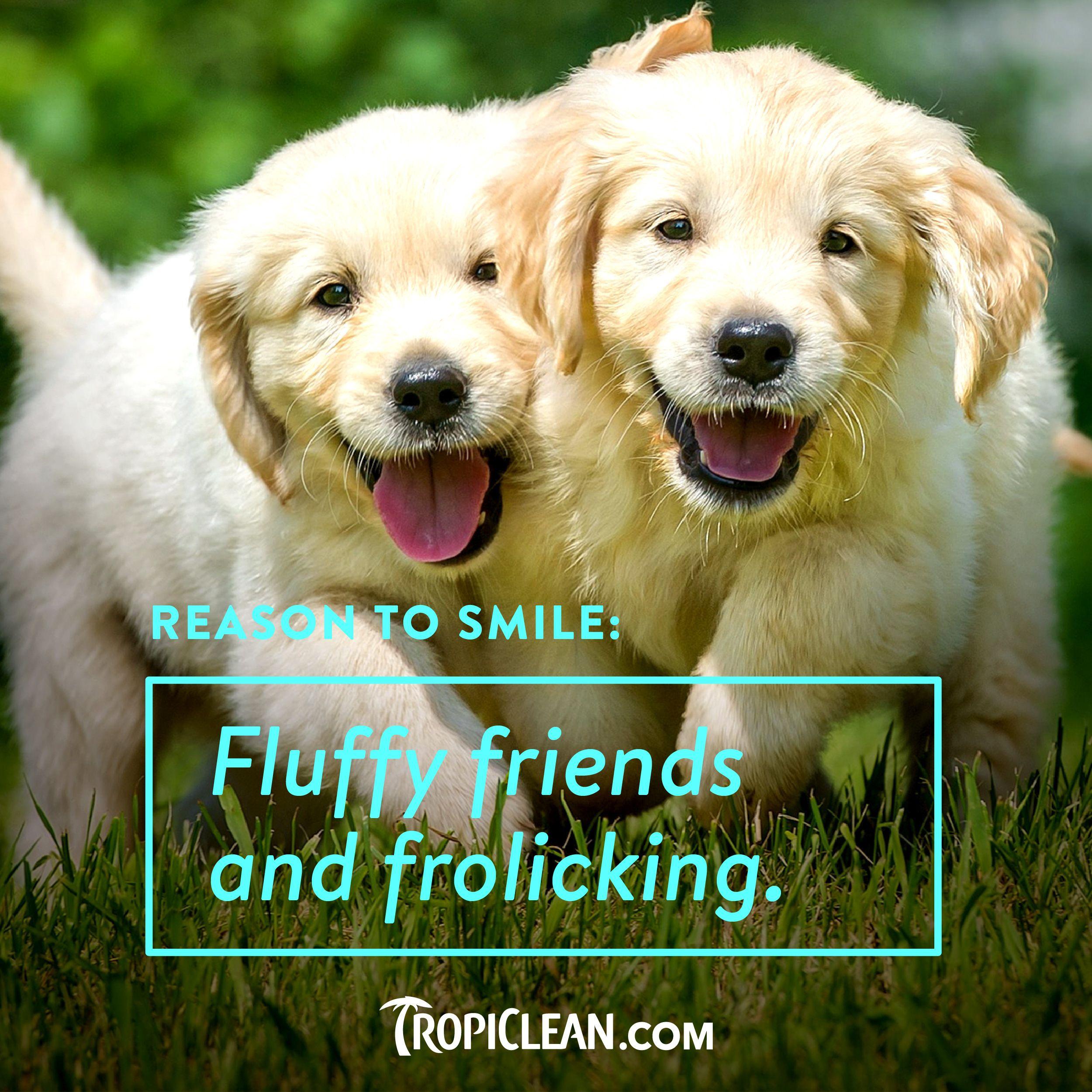 Smiling Golden Retriever puppies So cute puppies smilingdog