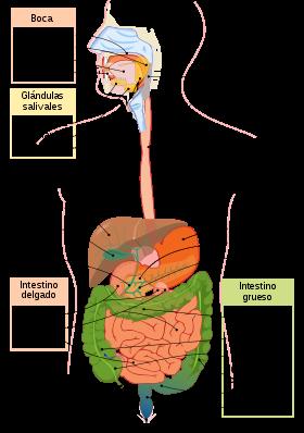 Aparato Digestivo Wikipedia La Enciclopedia Libre Aparato Digestivo Humano Aparato Digestivo Sistema Digestivo Humano