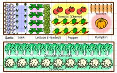 Produce the Perfect Garden Plan with Territorial Seed Company Garden Planner. Vegetable Garden Planner makes it easy to draw out your vegetable beds, add plants and move them around to get the perfect layout. As you add vegetables the space they require is clearly shown by the colored area around each plant and it calculates how many plants will fit into the area.    Crop rotation is easy as the Vegetable Garden Planner warns you where you should avoid placing each vegetable based on what…
