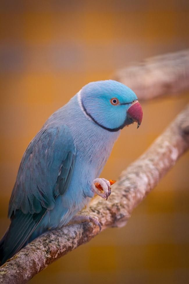Are Indian Ringnecks Loud? What You Should Know