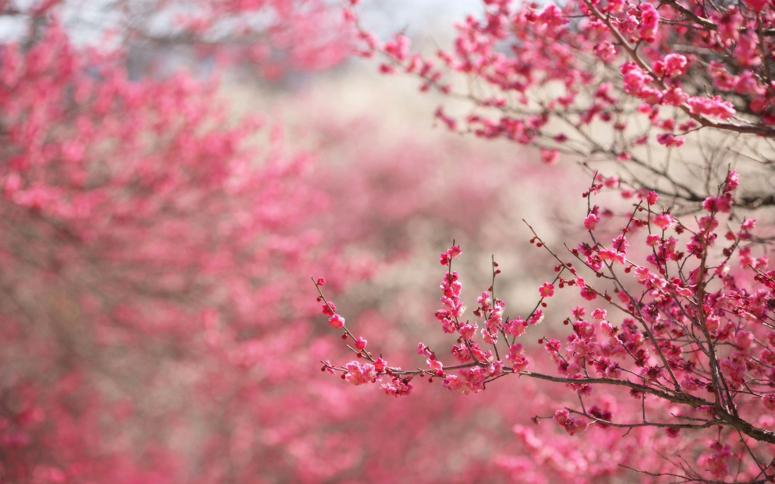 Pink Flowers On Tree Wallpaper And Photo By Photosof Org Flowering Trees