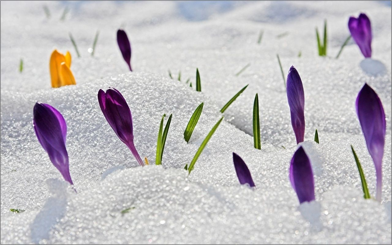Snow spring flowers desktop wallpaper free downloads spring snow spring flowers desktop wallpaper free downloads mightylinksfo