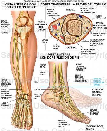 Nervios del pie. | Anatomia - pie y tobillo. | Pinterest | Nervios ...