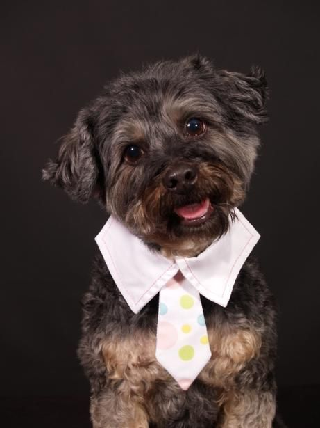 Mr Personality Max Is A Rescued Yorkie Poo That Has A Personality