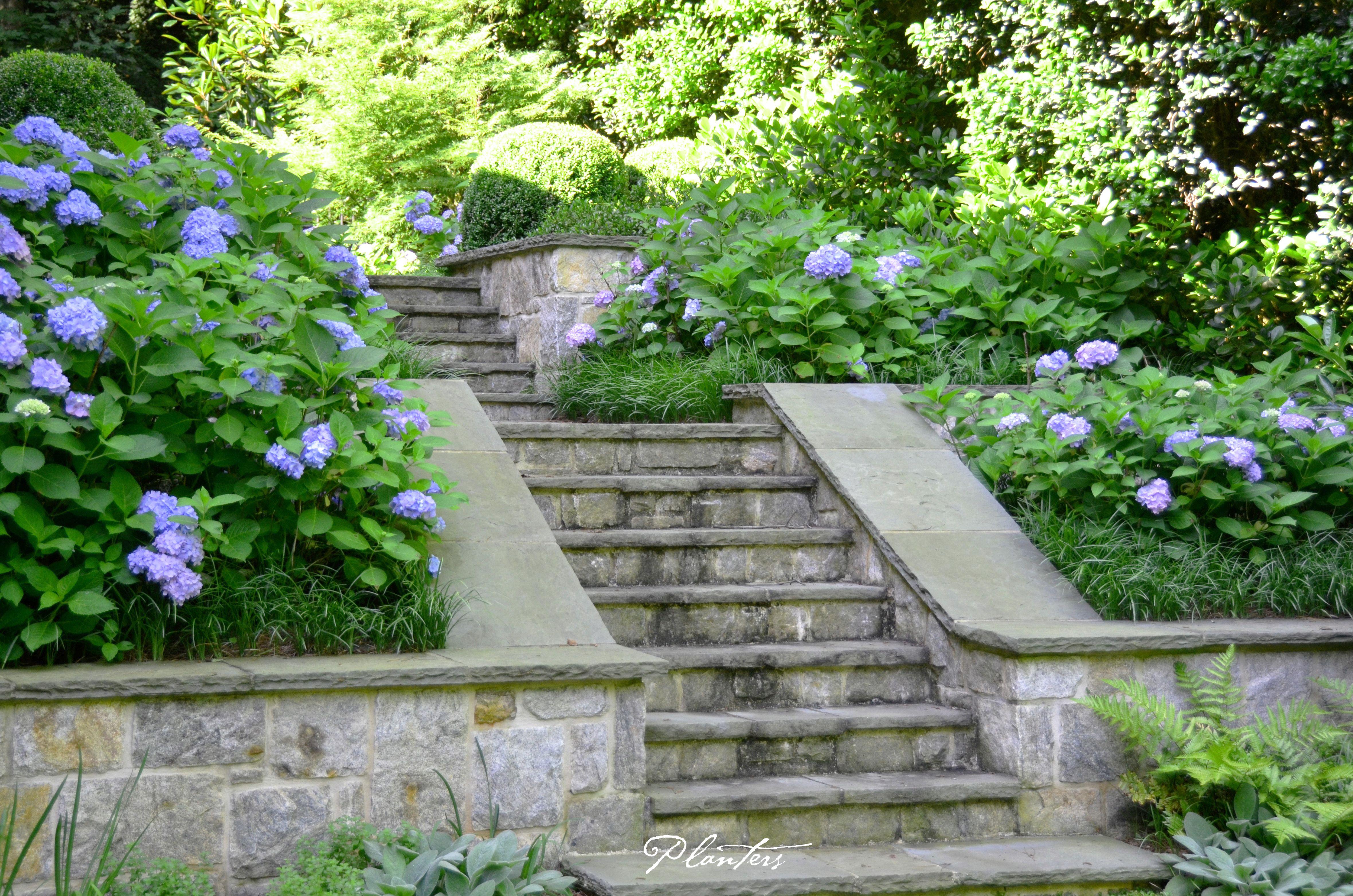 Landscape architect atlanta ga - Blue Endless Summer Hydrangeas Line This Stairway A Planters Design Atlanta Ga