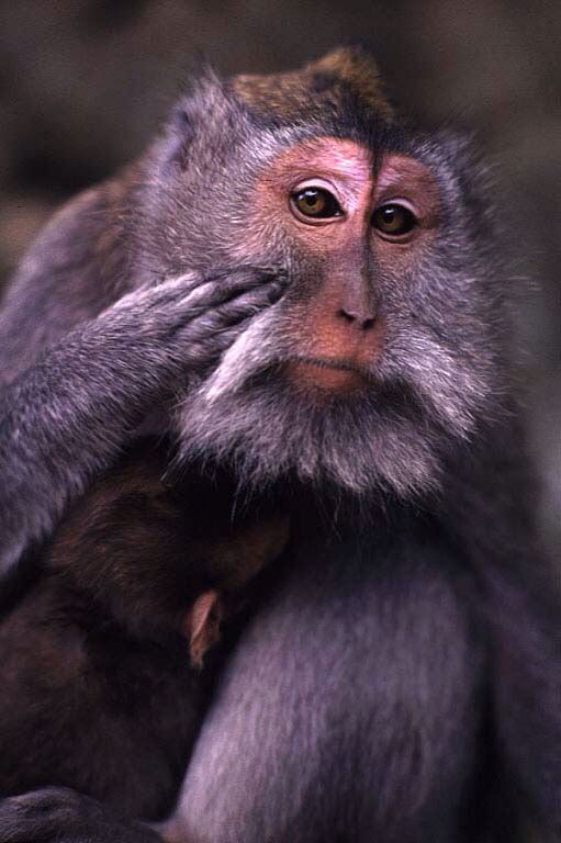 Long-tailed Macaque ( Crab-eating macaque , Java monkey )